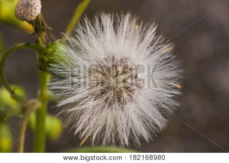 Magnification of a flower of Taraxacum in its phase infructescence.