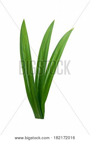Pandan Leaves isolated on a white background
