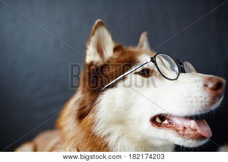 Clever husky dog wearing eyeglasses