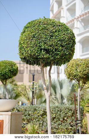 Beautiful spherical tree. Ornamental tree with spherical crown