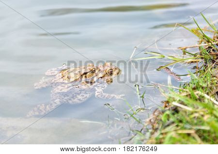 Mating frogs in the lake. Pair of brown common toads