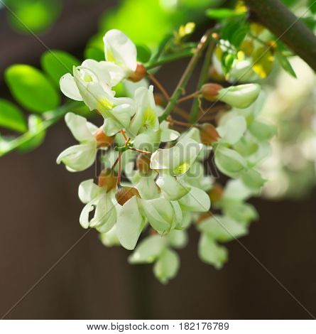 Acacia Tree Flowers Blooming In The Spring On The Branches