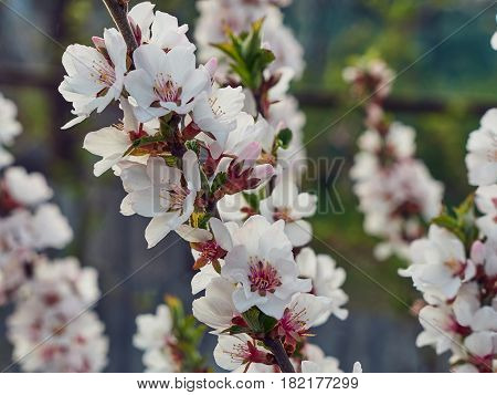 Sakura Cherry Plum Flower Branch In Spring Garden, Pink And White Blossom