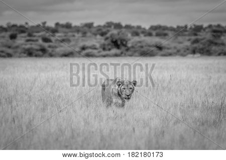 Lion In The High Grass In Black And White.