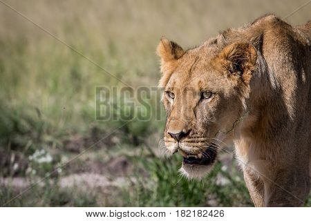 Side Profile Of A Young Male Lion.