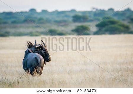 Blue Wildebeest Looking Back.