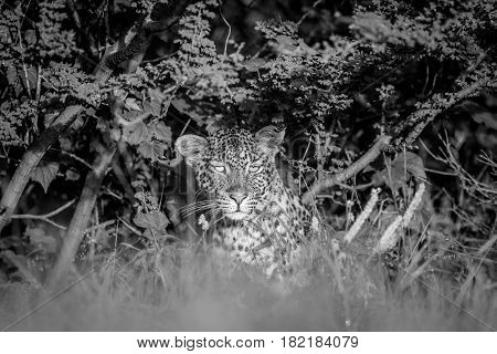 Starring Leopard In Bushes In Black And White.
