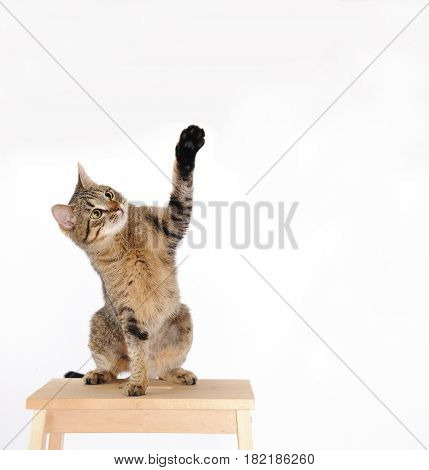 Cat Are Standing And Rising Hand On The White Background