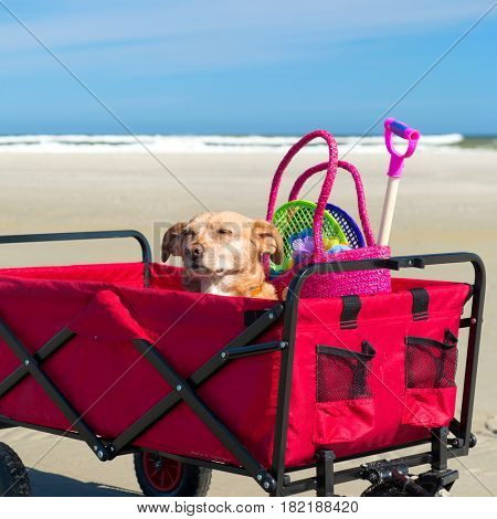 Old dog in cart with toys at the beach