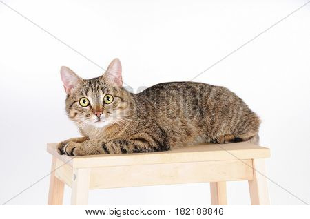Striped Cat Lying On A Chair And Attentively Looks At Camera