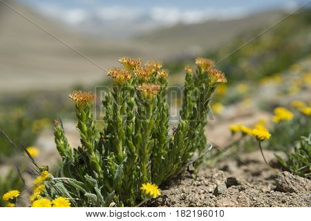 Rhodiola rosea (commonly golden root rose root roseroot western roseroot Aaron's rod Arctic root king's crown lignum rhodium orpin rose) in nature.