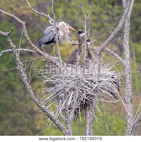 Great Blue Heron (Ardea herodias) standing on a nest with young