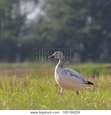 A white morph juvenile Snow Goose (Chen caerulescens) walking in a grass field