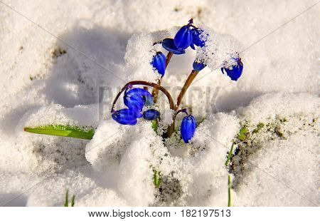 Blue snowdrop or scilla (lat. Scilla) on a forest glade from under the snow. The first spring flowers. First flowers make their way through the snow. Closeup. Low DOF photography.