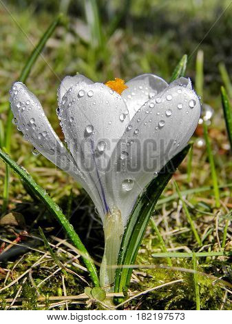 White snowdrop with drops of spring rain. The first white snowdrops in the forest glade. Closeup. Low DOF photography.