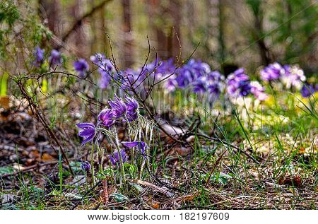 Blue snowdrop or scilla (lat. Scilla) on a forest glade, illuminated by sunlight. The first spring flowers. Closeup. Low DOF photography.
