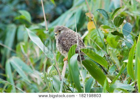 The Eurasian Kestrel bird stand on the bamboo stick