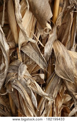 Corn maize stover dried leaves foliage