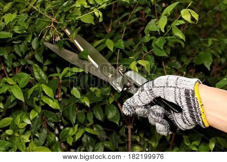 Pruning of ornamental trees by the scissors