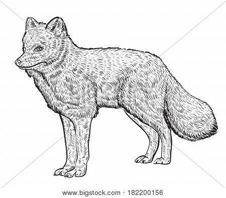 Arctic fox. Vintage vector illustration in sketch style