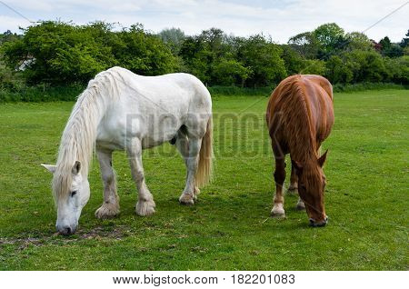 Two horses grazing in a field together in Norfolk UK