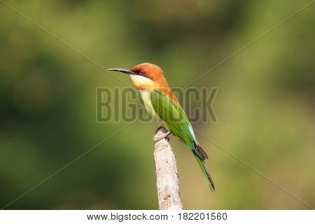 The Chestnut-headed Bee-eater bird stand on the tree stick