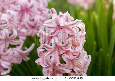 Pink Hyacinths. Garden Flowers. Blooming Hyacinths. Spring Flowers.