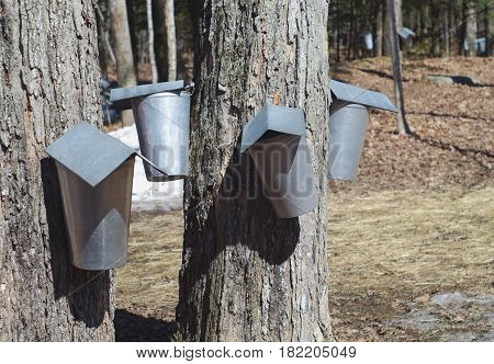 spring maple syrup harvest in metal bucket container