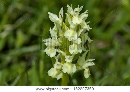 Heath Spotted Orchid or Dactylorhiza maculata flowering in a nature garden, Plana mountain, Bulgaria