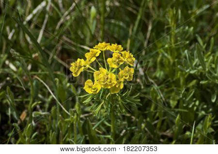 Spurge or Euphorbia cyparissias in the spring large close up, Plana mountain, Bulgaria