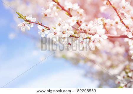 background texture of a peach branch on sky background and sun rays shining from the right side on a branch.