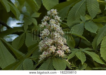 White horse-chestnut,  Aesculus hippocastanum or Conker tree with flower and leaf, Sofia, Bulgaria