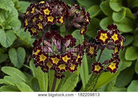 Small group of mix yellow and red Primrose or  Primula vulgaris flowers on a bed in garden,  Sofia, Bulgaria