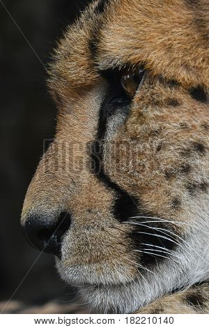 Extreme Close Up Side Profile Portrait Of Cheetah
