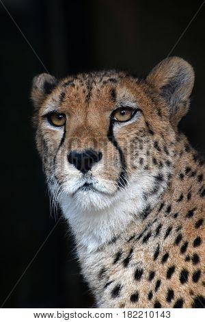 Close Up Portrait Of Cheetah Over Black