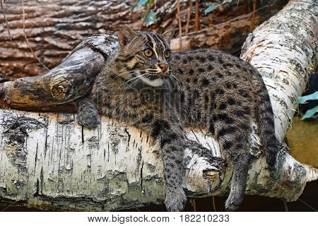 Fishing Cat Resting On Tree