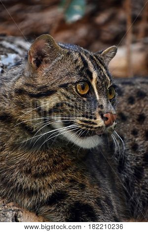 Close Up Side Portrait Of Fishing Cat