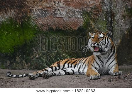 Siberian Tiger Roars On Stone Rock