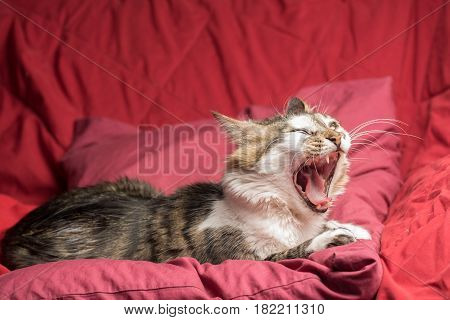 Portrait of a young european male tabby cat on red couch yawning
