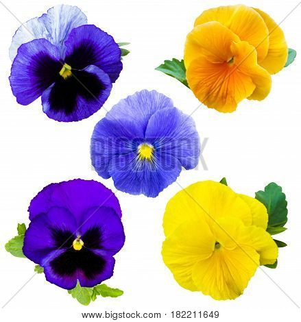 violet flower collection. Pansies on White background. flower Pansy