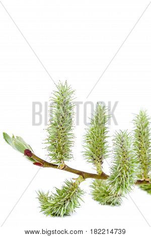 Branch a blossoming willow branches isolated on white background.