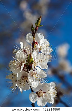 Branch blossoming cherry or apricot against the blue sky.