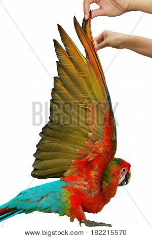 Lovely red and blue macaw parrot age three months Hand wings of bird raised to show the colorful wings of the inside on white background.