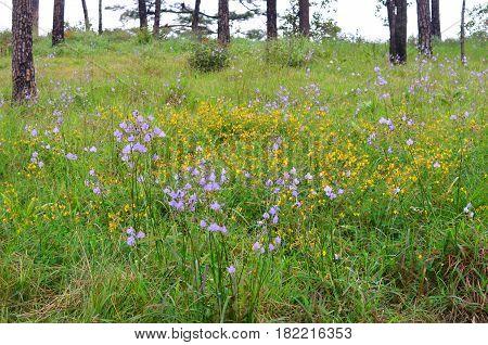 Murdannia giganteum wild violet flower in Phu Soi Dao Thailand National Park - selective focus