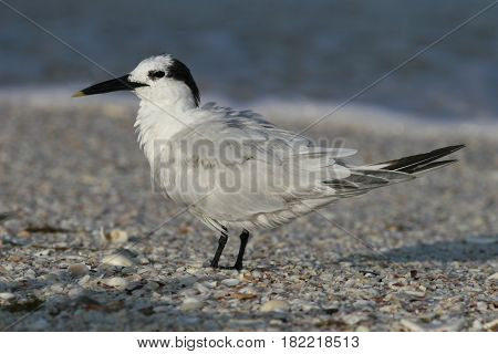 A Sandwich Tern with feathers in disarray after preening