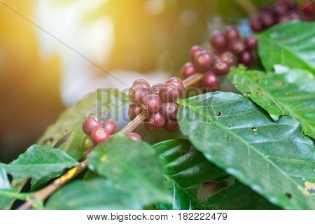fresh on tree Arabica coffee seed plant in agriculture farm