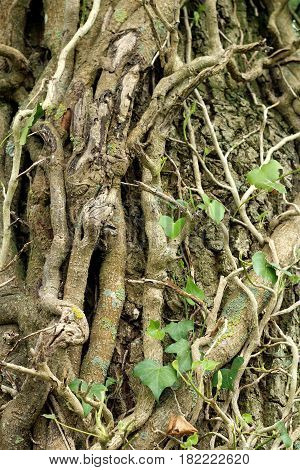 a view on a trunk invaded by roots