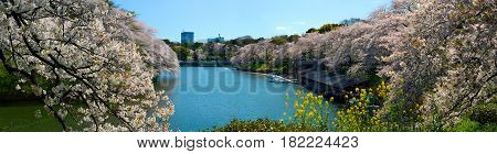 Wide panorama of Chidorigafuchi Moat and cherry flower blossoms in Tokyo, Japan
