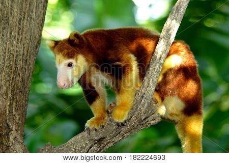 Tree kangaroo sitting on a tree branch, Papua New Guinea.
