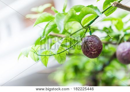 Antioxidants Healthy Fruit, Passion Fruit Fresh In Green Plant